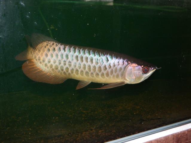 I m small but I m a beauty!!!!! AROWANA Forum ASIAN AROWANA,AROWANA,STINGRAY The1sheet