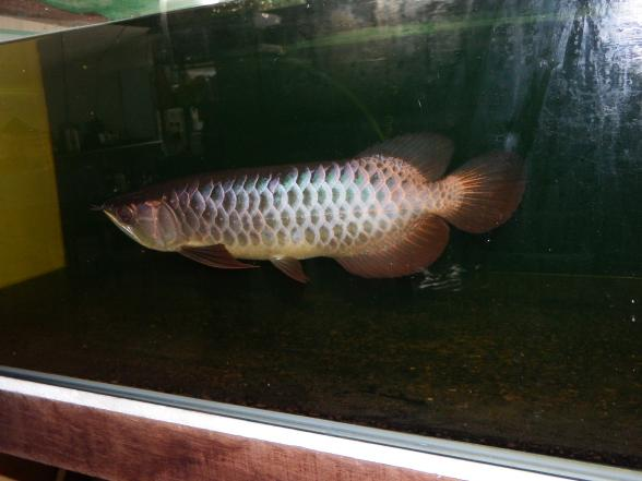 I m small but I m a beauty!!!!! AROWANA Forum ASIAN AROWANA,AROWANA,STINGRAY The2sheet