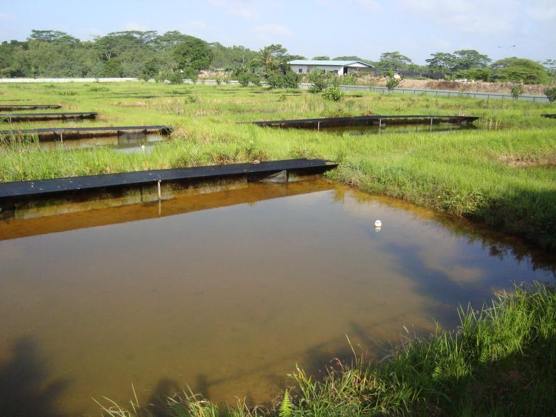 Name:  Arowana Pond 2.jpg
